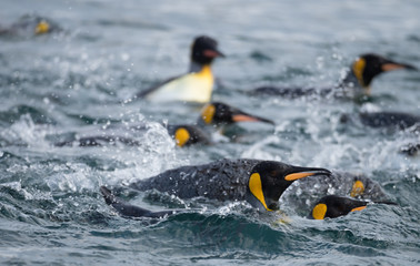 King Penguins Swimming in the Southern Ocean