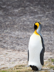 Resting King Penguin leaning back on its heels with its head tucked behind its right shoulder.