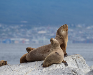 South American Fur Seals on a Gray Rock in the Beagle Channel with Ushuaia Argentina in the background.