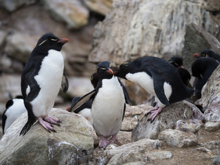 In de dag Antarctica Rockhopper Penguin Grooming Another Penguin while standing among rocks.