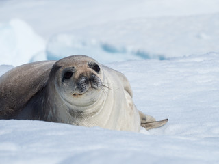 Weddell Seal laying on an iceberg. Its big brown eyes are looking at the camera.