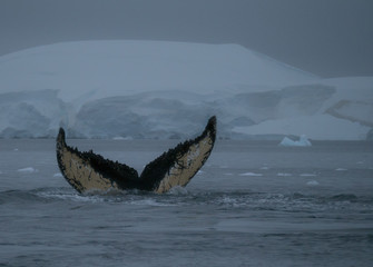 Humpback whale fluke with scars and barnacles showing at it dives. A mountain with a glacier is in the background. Photographed at dusk.