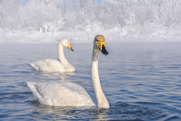 swans lake frost winter