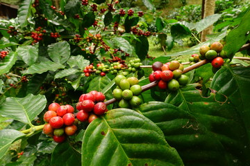 Coffee beans ripening on a tree.
