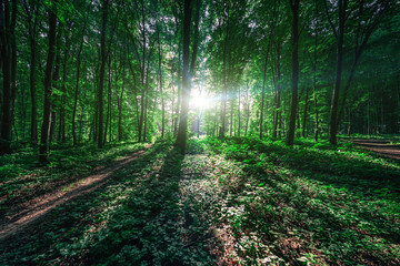 Wall Mural - beautiful green forest