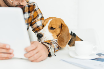 cropped image of cute beagle looking at tablet