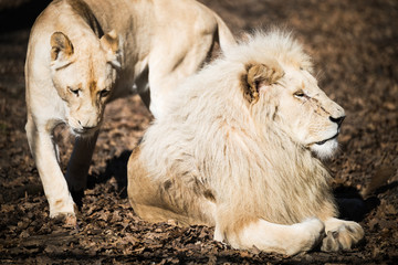 White lion and lioness in nature park