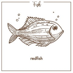 Redfish sketch fish vector icon of snapper or grouper