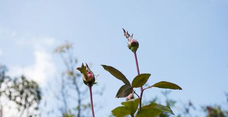 red rose in garden on sky blackground