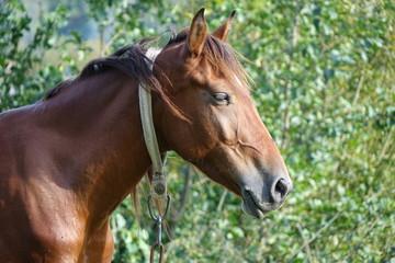 The Carpathian horse. Mountains of the Carpathians. Transcarpathia