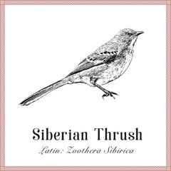 Siberian Thrush Engraving Illustration. Latin: Zoothera Sibirica. Wild Forest Bird.