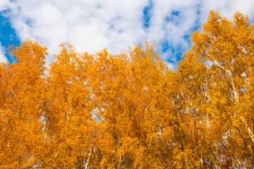 Autumn in the golden park. Yellow birch tree leaves over blue sky