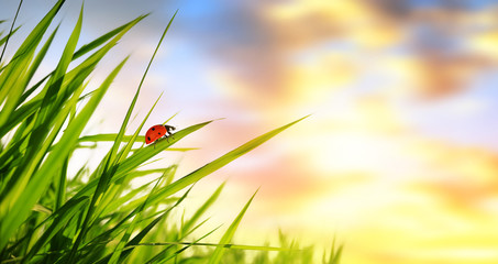 Fresh green spring grass with ladybug at sunrise. Nature background.