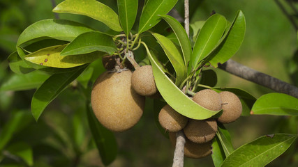 Kiwi fruit on a tree branch in tropical garden. Ripe fruits of kiwi plant organic cultivation.