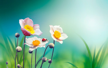 Wall Mural - Beautiful pink flowers anemones fresh spring morning on nature with ladybug on blurred soft blue green background, macro. Spring template, free space.