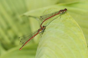 Large red damselflies mating (Pyrrhosoma nymphula)