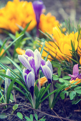 flowers crocuses on bokeh background in sunny spring forest under sunbeams