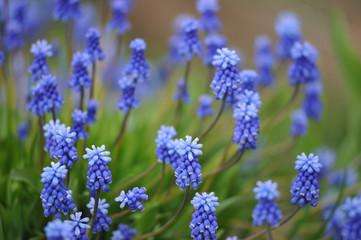 muscari flowers on flowerbed