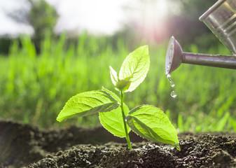 planting and watering seedlings