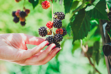 Hand touches ripe blackberries on  branch