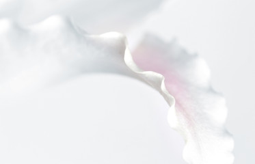 Macro Shot Single Petal of White Lily.