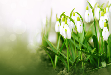White snowdrop flowers isolated.