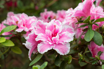 In de dag Azalea Azalea flower blooming