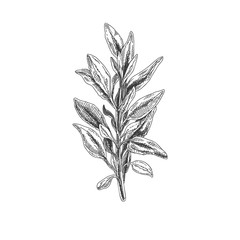 Beautiful vector hand drawn tea herb Illustration.