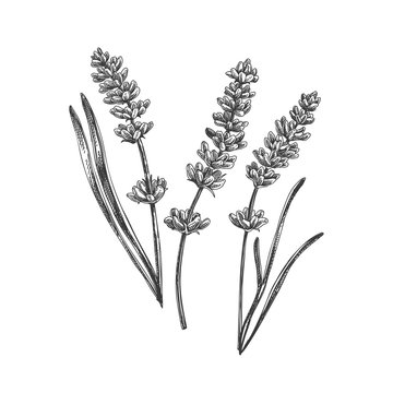 Beautiful vector hand drawn tea herb Illustration.