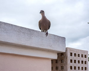 The dove sits on the parapet and looks curiously.