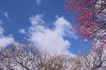 紅白の梅に囲まれた空