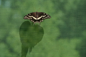 Black swallowtail butterfly on mesh netting casting a long shadow