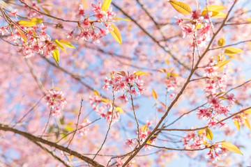Sakura cherry blossom.