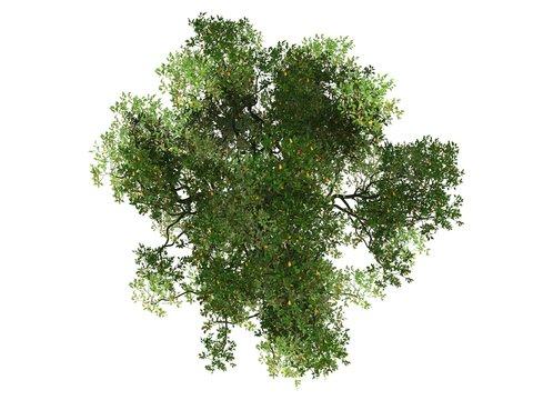 Mangrove tree on white background