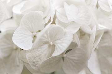 white hydrangea, close-up of a flower.