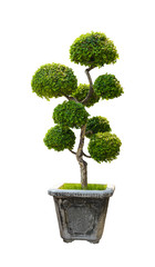 Bonsai tree, Dwarf tree isolated on white background