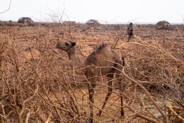 Baby Camel