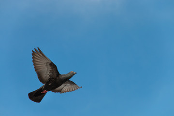 pigeon flying on the blue sky.
