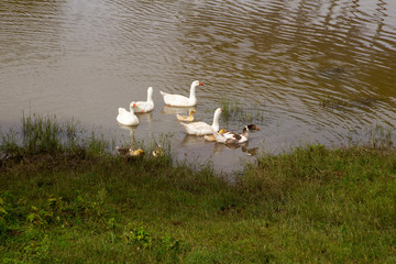 White Goose Family on Lake Shore