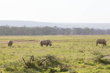 Rhinos in Savannah