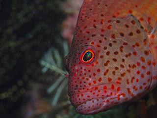 Freckled Hawkfish, Gestreifter Korallenwächter (Paracirrhites forsteri)