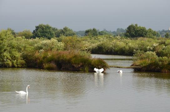 cygnes sur l'eau (bassin d'arcachon, audenge, domaine de certes)