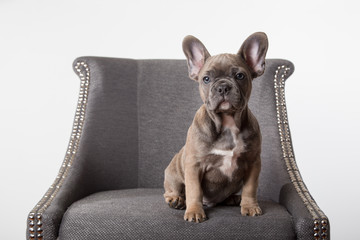 Poster Franse bulldog French bulldog puppy on chair