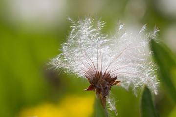 dandelion in extraordinary shape