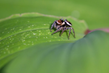 Spider Salticidae on the leaf