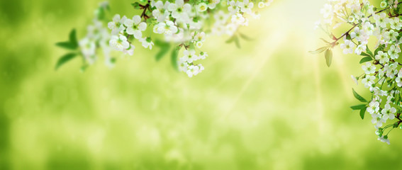 Spring background art white cherry blossom. Beautiful nature scene with blooming tree and sun flare. Sunny day. Spring flowers. Beautiful orchard. Abstract blurred background.