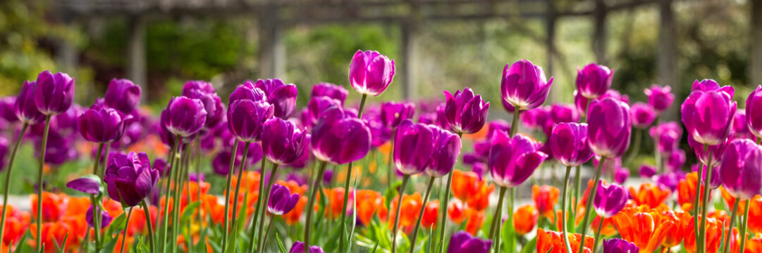 Field of purple and orange tulips