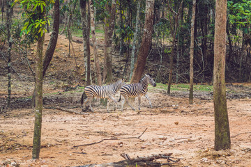 Zebras running through the forest. Zebras in the natural environment