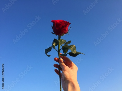 Una Rosa Rossa Nella Mano Sfondo Blu Cielo Stock Photo And Royalty