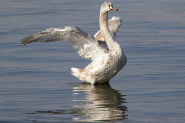 a mute swan opens its wings while swimming in the lake